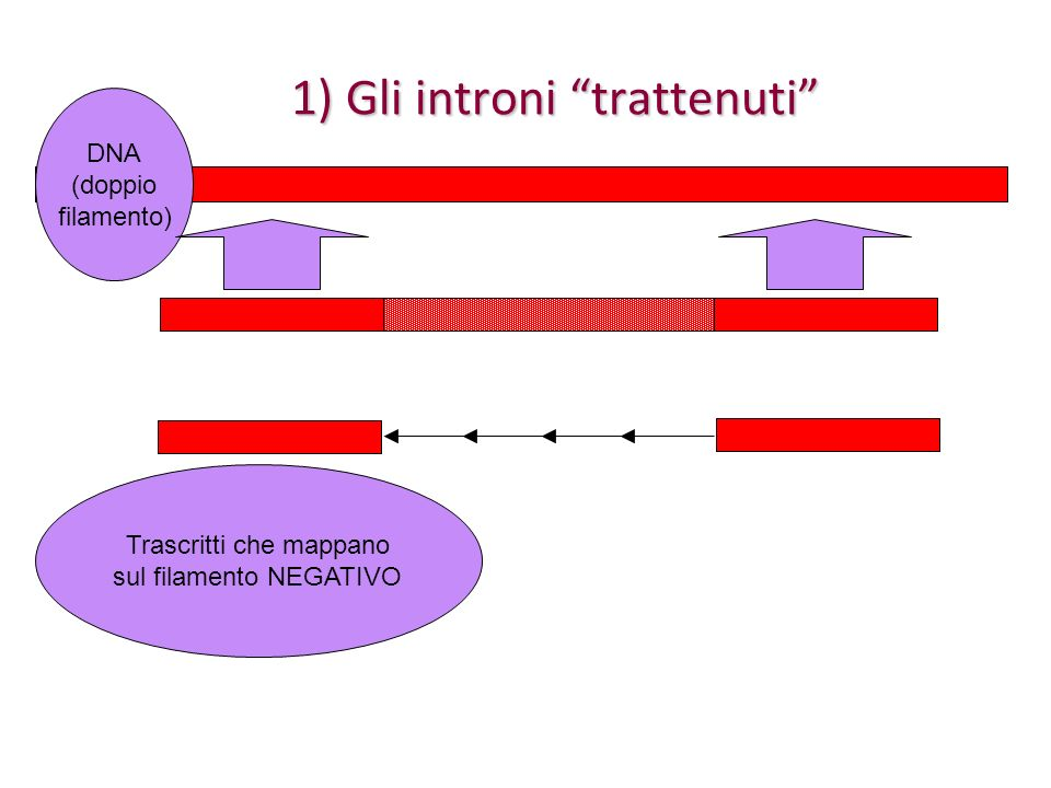 Siti di splicing alternativi Idem, quando si usano segnali di splicing alternativi Idem, quando si usano segnali di splicing alternativi in questo caso, se la lunghezza del frammento aggiuntivo (in blu) è un multiplo di 3, allora il suo inserimento causeràsoltanto un inserimento di amminoacidi nella proteina codificata altrimenti, la traduzione dellesone giallo e verde sarà DIVERSA a seconda della presenza del frammento aggiuntivo in blu (analogamente quando si accorciano esoni)