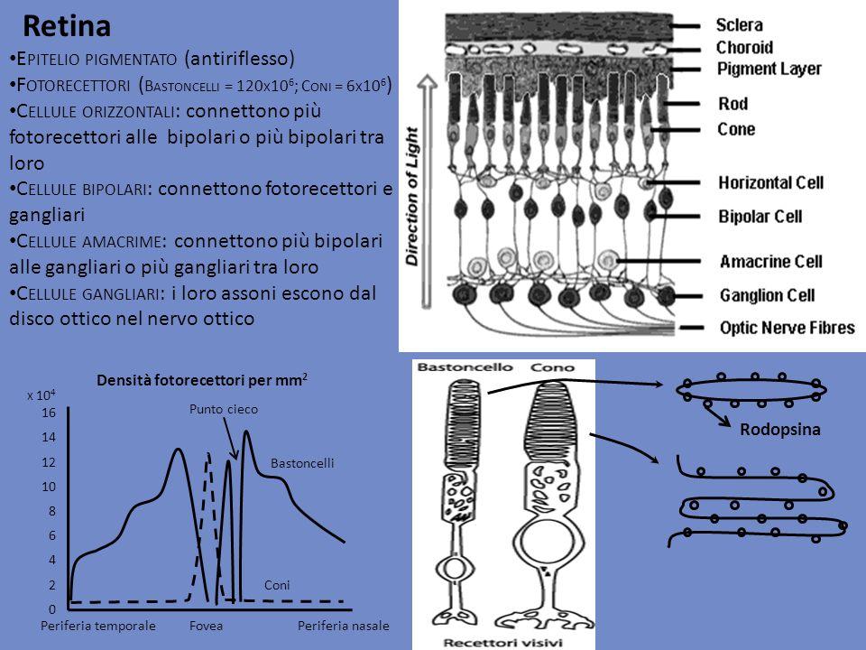 Retina E PITELIO PIGMENTATO (antiriflesso) F OTORECETTORI ( B ASTONCELLI = 120 X 10 6 ; C ONI = 6 X 10 6 ) C ELLULE ORIZZONTALI : connettono più fotor
