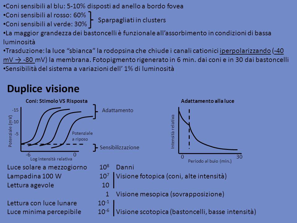 Coni sensibili al blu: 5-10% disposti ad anello a bordo fovea Coni sensibili al rosso: 60% Coni sensibili al verde: 30% La maggior grandezza dei basto