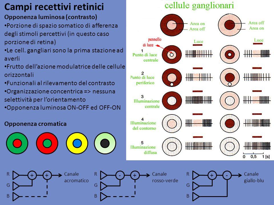 Campi recettivi retinici Opponenza luminosa (contrasto) Porzione di spazio somatico di afferenza degli stimoli percettivi (in questo caso porzione di
