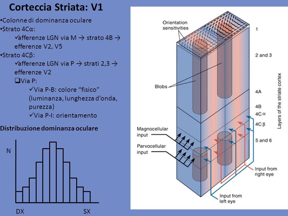 Corteccia Striata: V1 Colonne di dominanza oculare Strato 4Cα: afferenze LGN via M strato 4B efferenze V2, V5 Strato 4Cβ: afferenze LGN via P strati 2