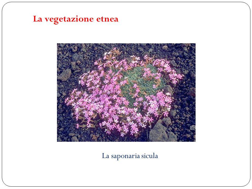 La saponaria sicula La vegetazione etnea