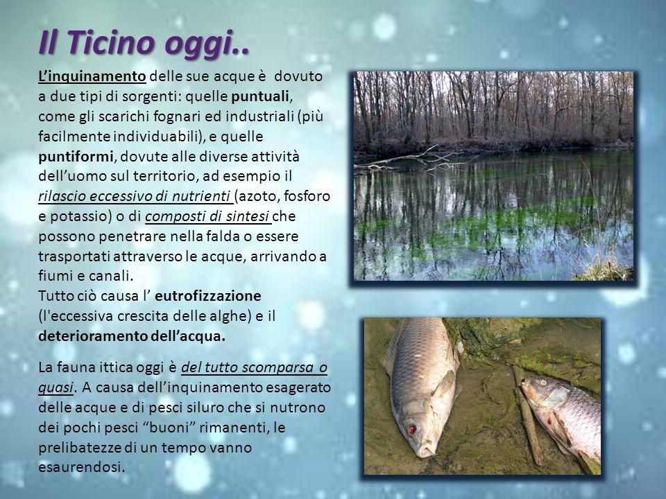 Il Ticino oggi.. La fauna ittica oggi è del tutto scomparsa o quasi. A causa dellinquinamento esagerato delle acque e di pesci siluro che si nutrono d