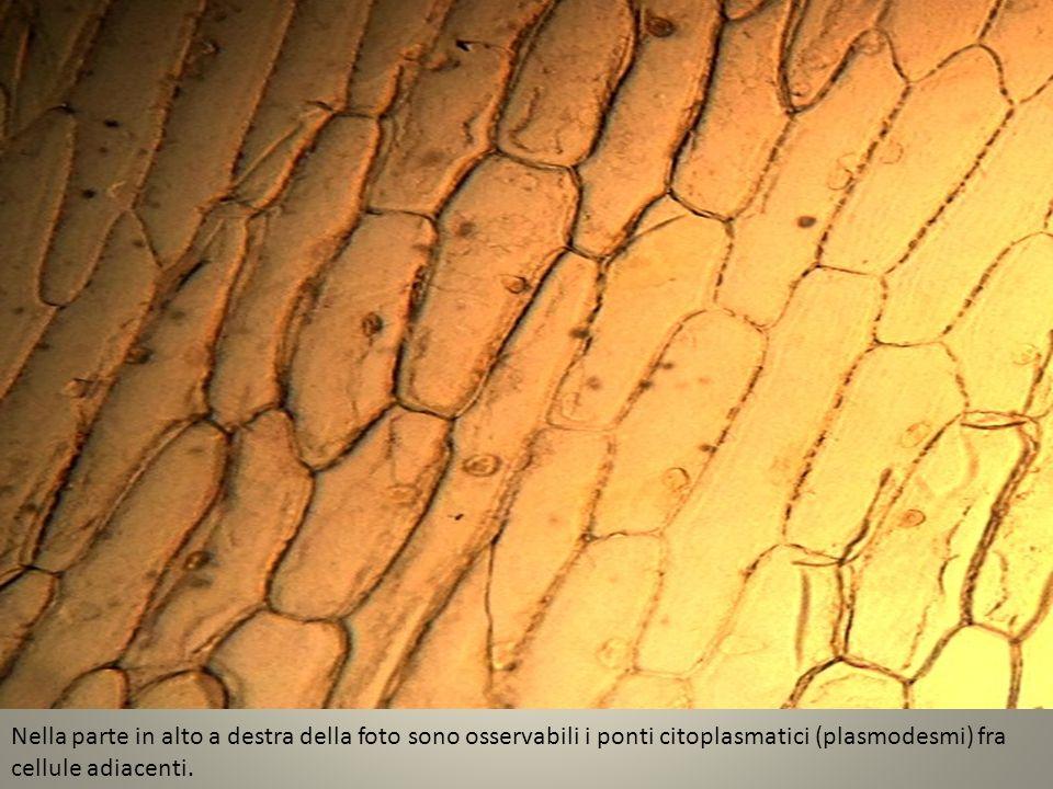 Nella parte in alto a destra della foto sono osservabili i ponti citoplasmatici (plasmodesmi) fra cellule adiacenti.