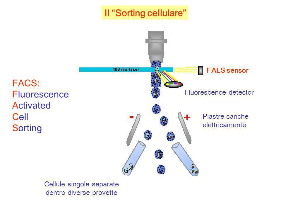 Il Sorting cellulare FALS sensor Fluorescence detector Piastre cariche elettricamente Cellule singole separate dentro diverse provette FACS: Fluoresce