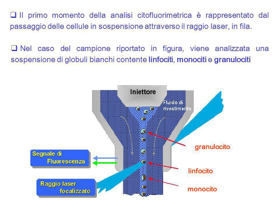 Il primo momento della analisi citofluorimetrica è rappresentato dal passaggio delle cellule in sospensione attraverso il raggio laser, in fila. granu