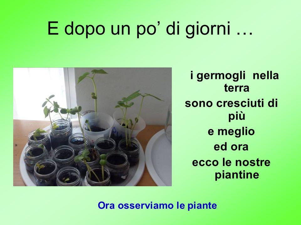 E dopo un po di giorni … i germogli nella terra sono cresciuti di più e meglio ed ora ecco le nostre piantine Ora osserviamo le piante