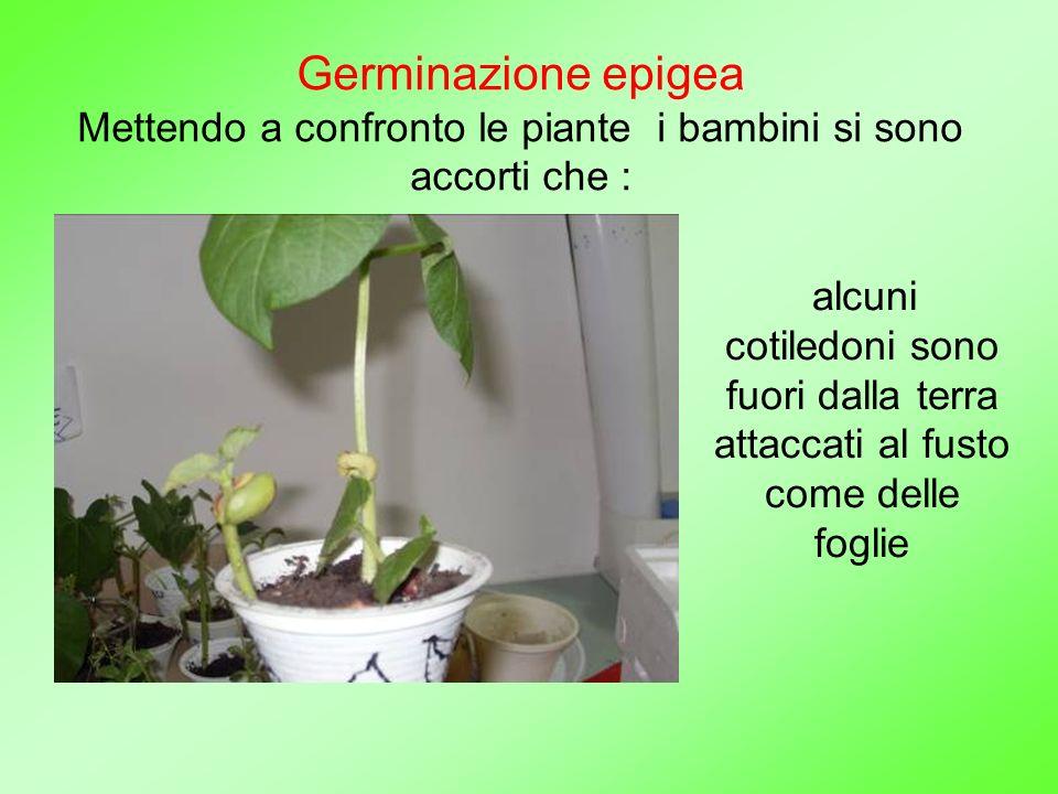 Germinazione epigea Mettendo a confronto le piante i bambini si sono accorti che : alcuni cotiledoni sono fuori dalla terra attaccati al fusto come de
