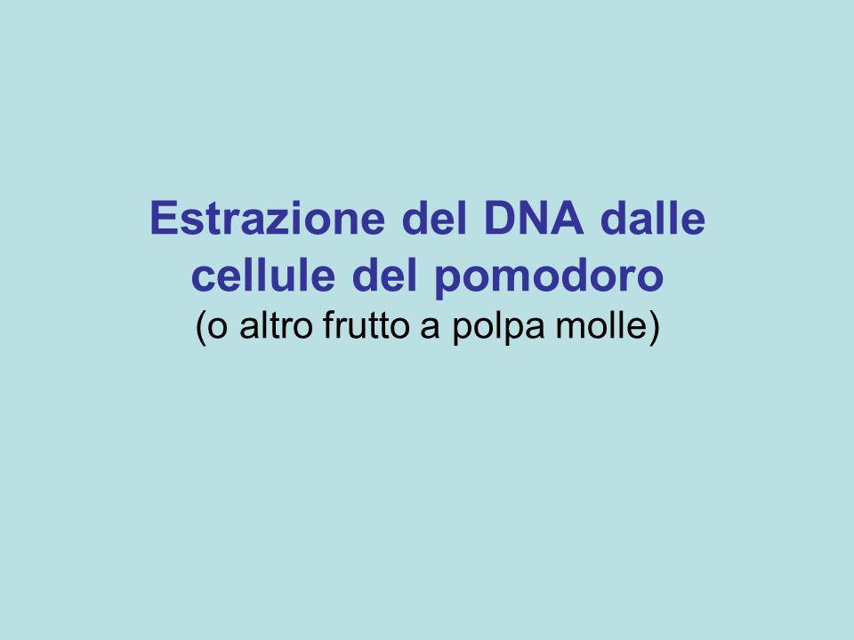 Estrazione del DNA dalle cellule del pomodoro (o altro frutto a polpa molle)