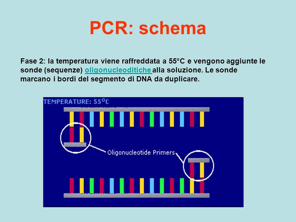 PCR: schema Fase 2: la temperatura viene raffreddata a 55°C e vengono aggiunte le sonde (sequenze) oligonucleoditiche alla soluzione. Le sonde marcano