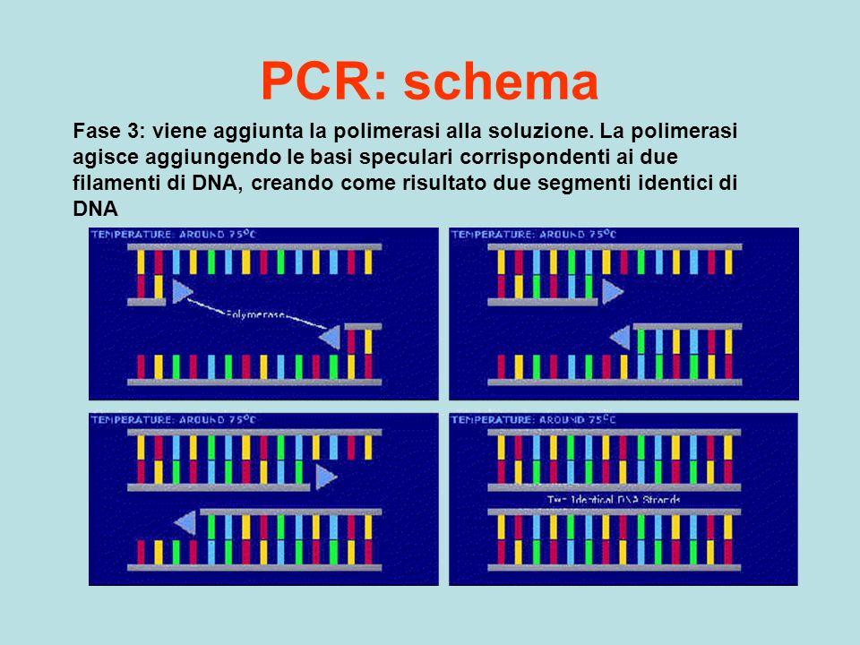 PCR: schema Fase 3: viene aggiunta la polimerasi alla soluzione. La polimerasi agisce aggiungendo le basi speculari corrispondenti ai due filamenti di