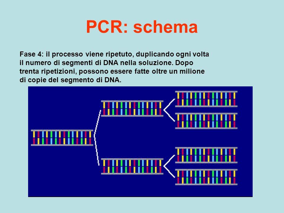 PCR: schema Fase 4: il processo viene ripetuto, duplicando ogni volta il numero di segmenti di DNA nella soluzione. Dopo trenta ripetizioni, possono e