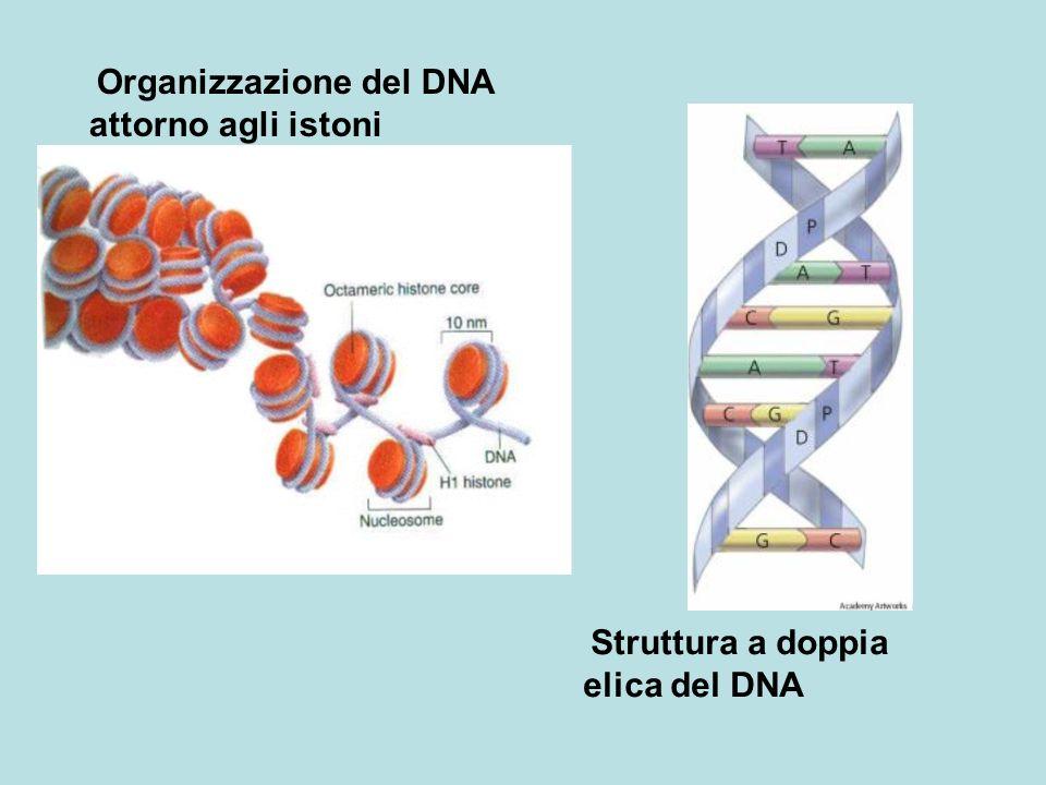 Struttura a doppia elica del DNA Organizzazione del DNA attorno agli istoni