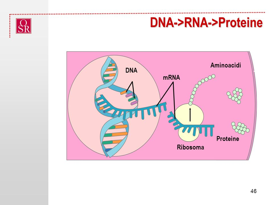 DNA->RNA->Proteine NucleusDNA mRNA Proteine Ribosoma Aminoacidi 46