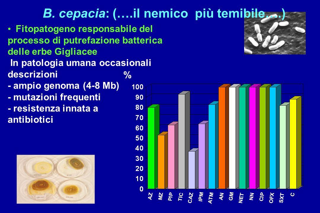 B. cepacia: (….il nemico più temibile….) Fitopatogeno responsabile del processo di putrefazione batterica delle erbe Gigliacee In patologia umana occa