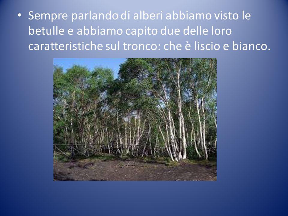 Sempre parlando di alberi abbiamo visto le betulle e abbiamo capito due delle loro caratteristiche sul tronco: che è liscio e bianco.
