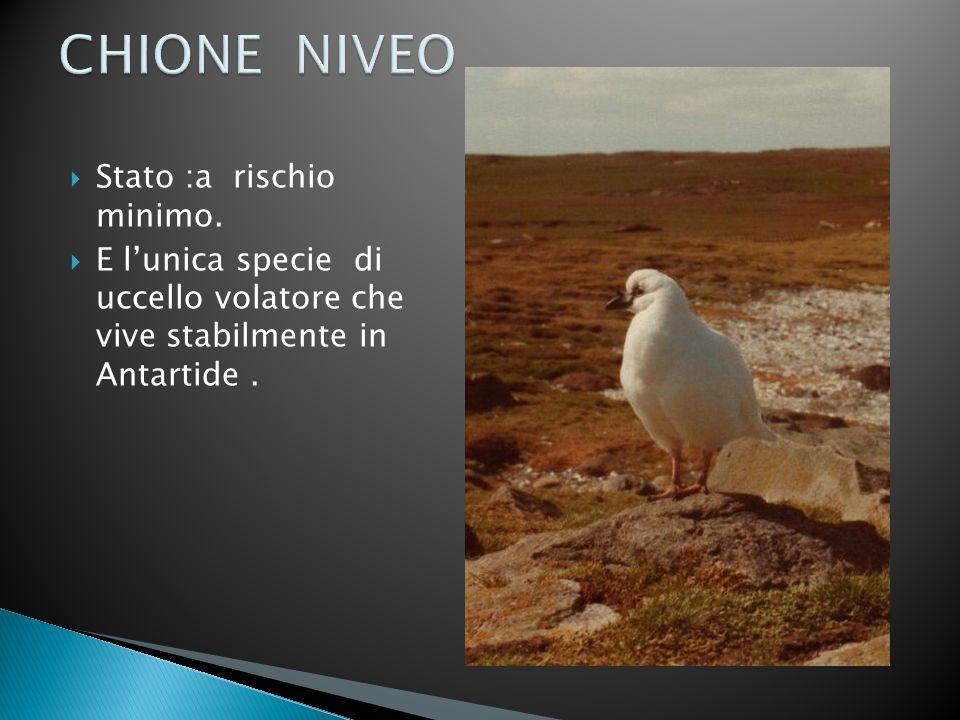 Stato :a rischio minimo. E lunica specie di uccello volatore che vive stabilmente in Antartide.