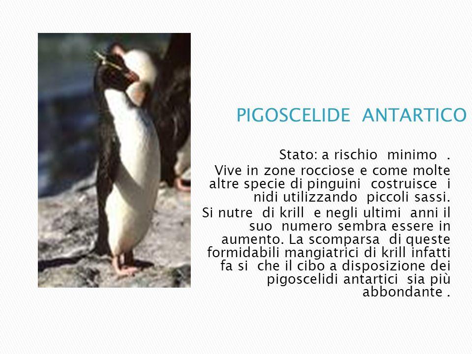 Stato: a rischio minimo. Vive in zone rocciose e come molte altre specie di pinguini costruisce i nidi utilizzando piccoli sassi. Si nutre di krill e