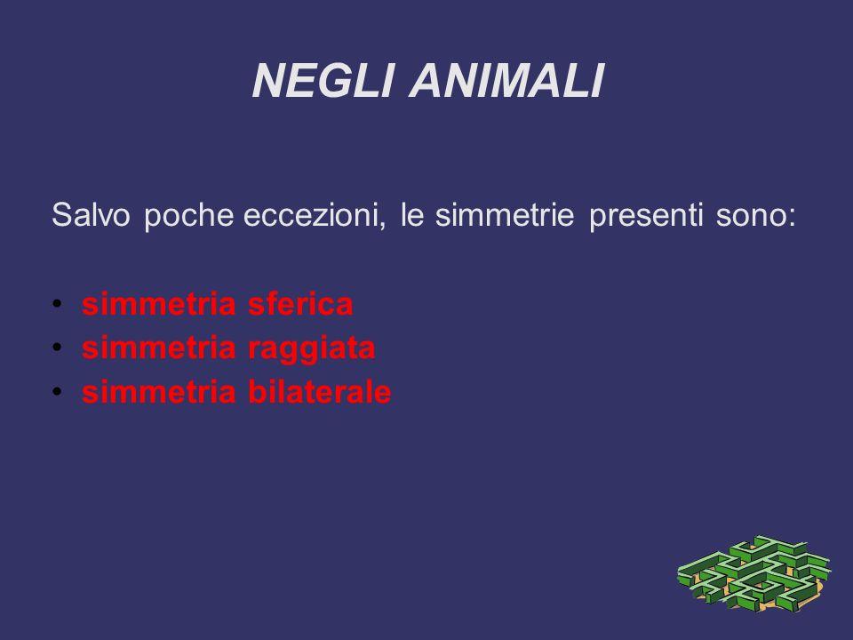 NEGLI ANIMALI Salvo poche eccezioni, le simmetrie presenti sono: simmetria sferica simmetria raggiata simmetria bilaterale