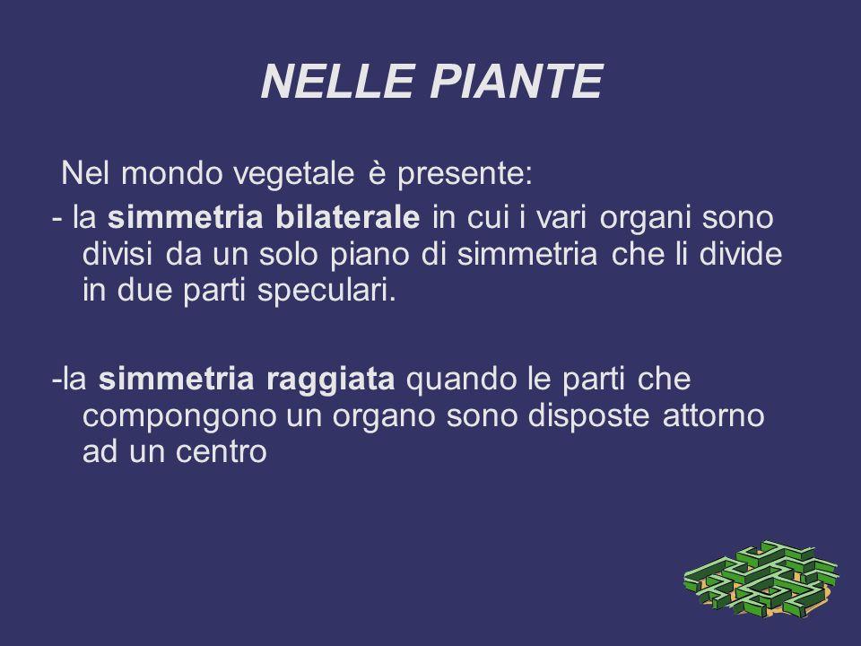 NELLE PIANTE Nel mondo vegetale è presente: - la simmetria bilaterale in cui i vari organi sono divisi da un solo piano di simmetria che li divide in