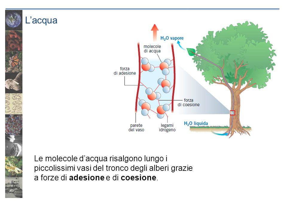Lacqua Le molecole dacqua risalgono lungo i piccolissimi vasi del tronco degli alberi grazie a forze di adesione e di coesione.