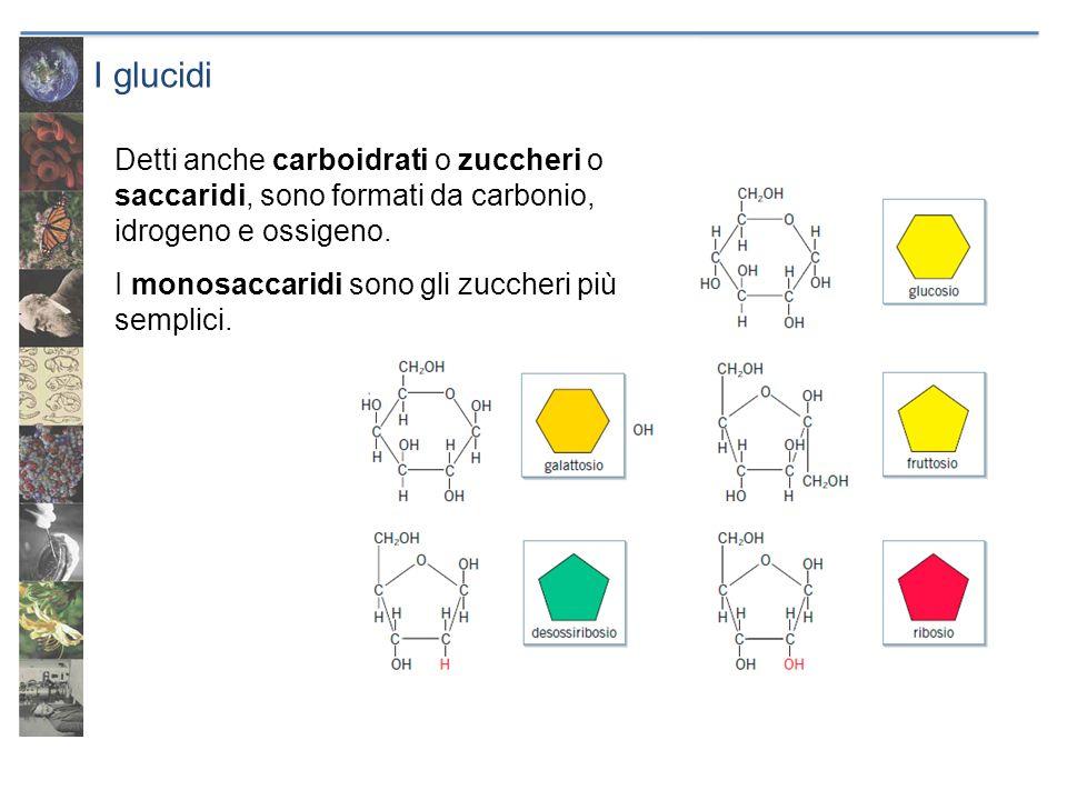 I glucidi Detti anche carboidrati o zuccheri o saccaridi, sono formati da carbonio, idrogeno e ossigeno. I monosaccaridi sono gli zuccheri più semplic