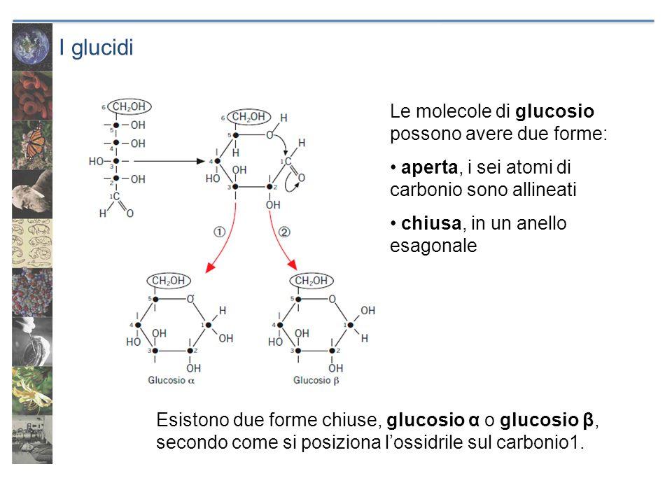 I glucidi Le molecole di glucosio possono avere due forme: aperta, i sei atomi di carbonio sono allineati chiusa, in un anello esagonale Esistono due