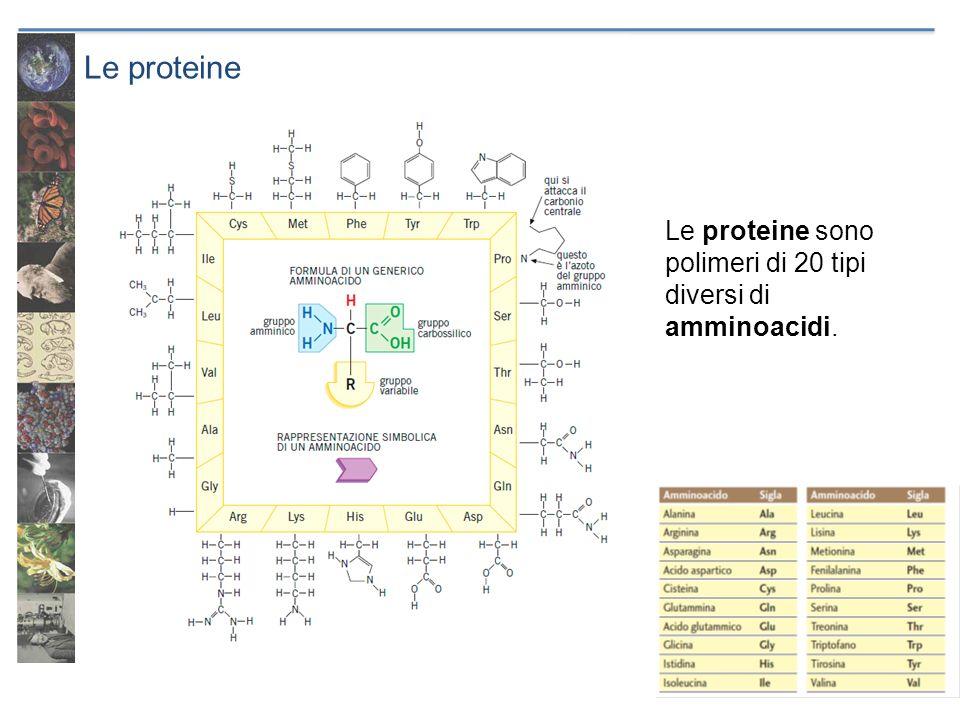 Le proteine Le proteine sono polimeri di 20 tipi diversi di amminoacidi.