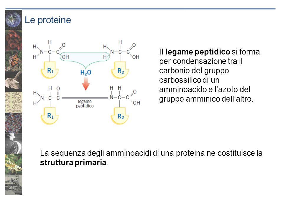 Le proteine Il legame peptidico si forma per condensazione tra il carbonio del gruppo carbossilico di un amminoacido e lazoto del gruppo amminico dell