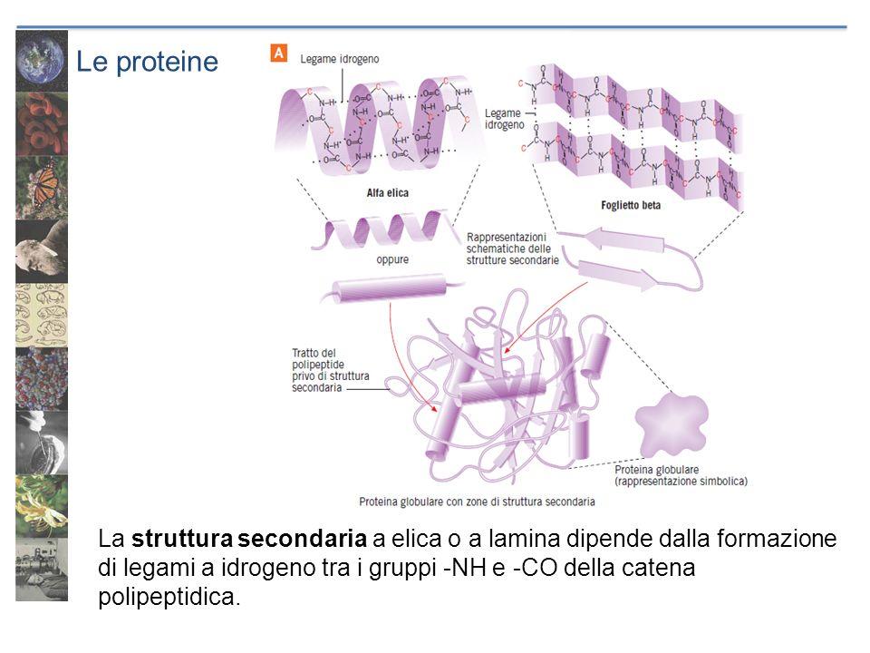 Le proteine La struttura secondaria a elica o a lamina dipende dalla formazione di legami a idrogeno tra i gruppi -NH e -CO della catena polipeptidica