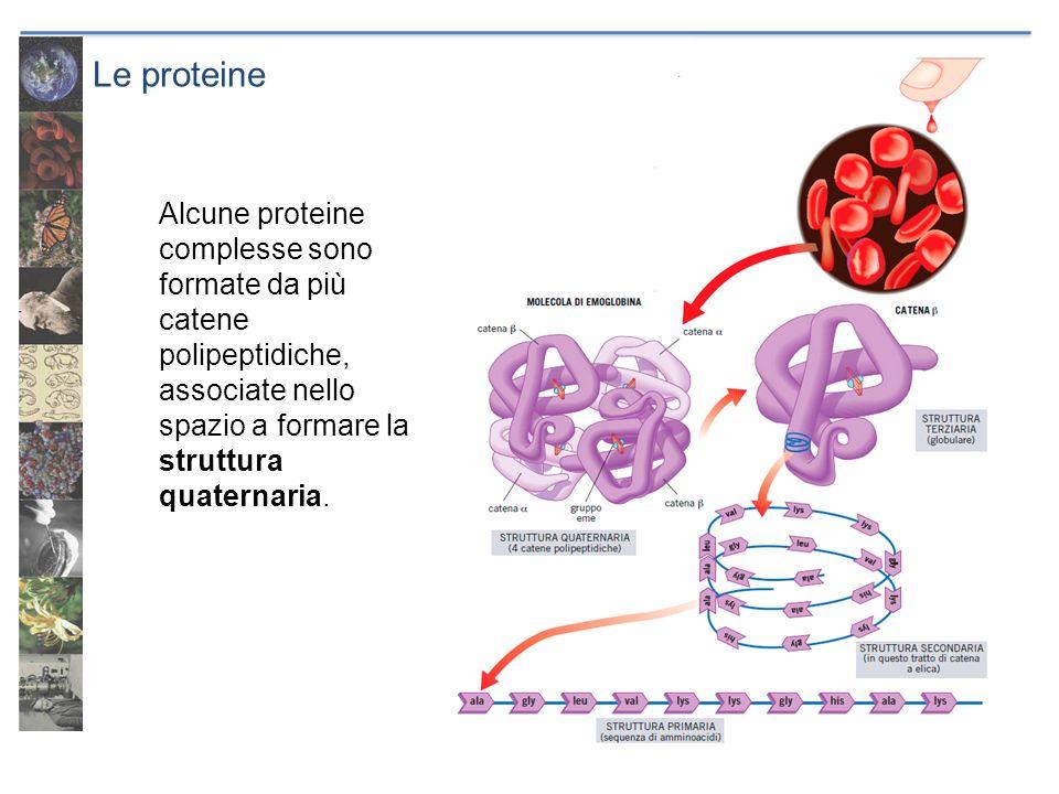 Le proteine Alcune proteine complesse sono formate da più catene polipeptidiche, associate nello spazio a formare la struttura quaternaria.