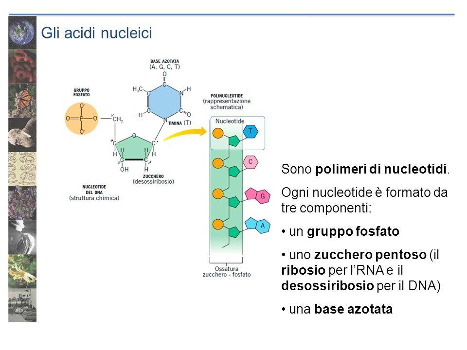 Gli acidi nucleici Sono polimeri di nucleotidi. Ogni nucleotide è formato da tre componenti: un gruppo fosfato uno zucchero pentoso (il ribosio per lR