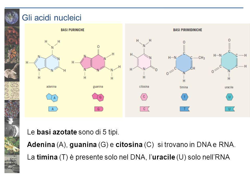 Gli acidi nucleici Le basi azotate sono di 5 tipi. Adenina (A), guanina (G) e citosina (C) si trovano in DNA e RNA. La timina (T) è presente solo nel
