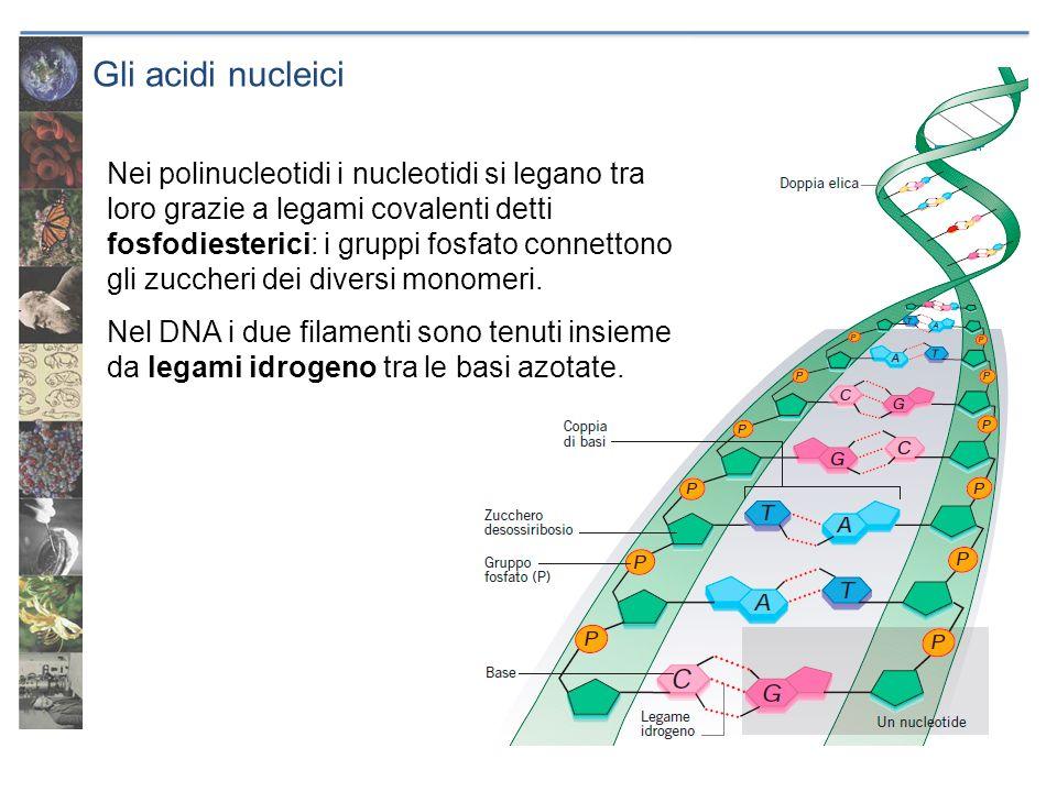 Gli acidi nucleici Nei polinucleotidi i nucleotidi si legano tra loro grazie a legami covalenti detti fosfodiesterici: i gruppi fosfato connettono gli
