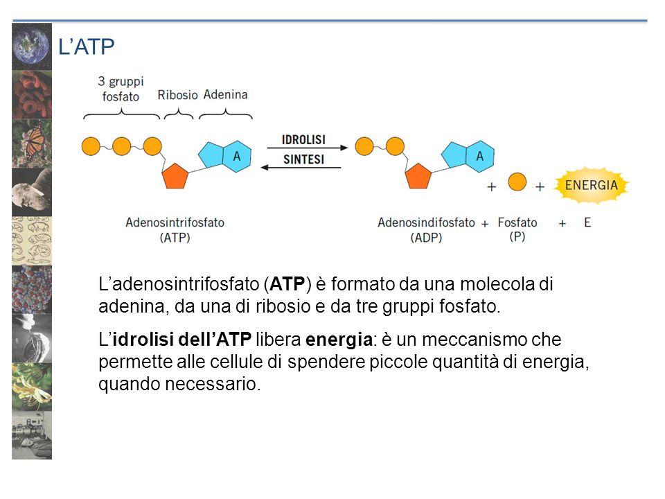 LATP Ladenosintrifosfato (ATP) è formato da una molecola di adenina, da una di ribosio e da tre gruppi fosfato. Lidrolisi dellATP libera energia: è un
