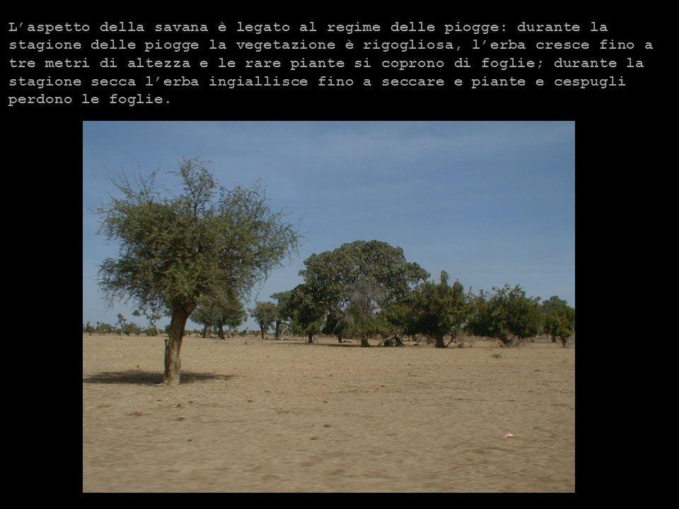 Laspetto della savana è legato al regime delle piogge: durante la stagione delle piogge la vegetazione è rigogliosa, lerba cresce fino a tre metri di