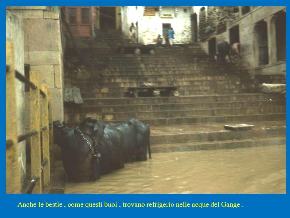 Anche le bestie, come questi buoi, trovano refrigerio nelle acque del Gange.
