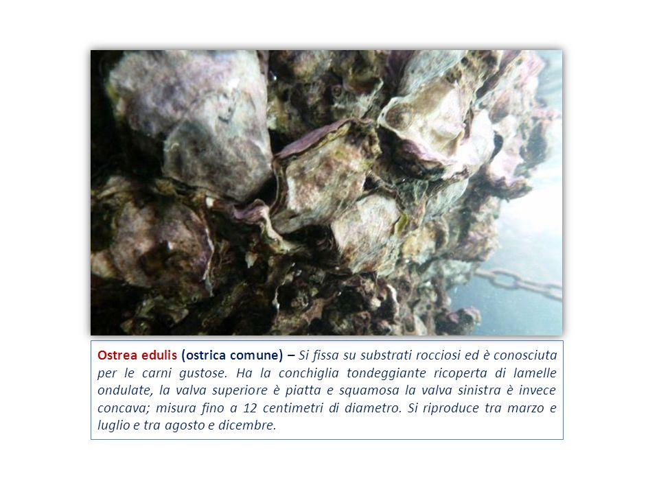 Ostrea edulis (ostrica comune) – Si fissa su substrati rocciosi ed è conosciuta per le carni gustose. Ha la conchiglia tondeggiante ricoperta di lamel