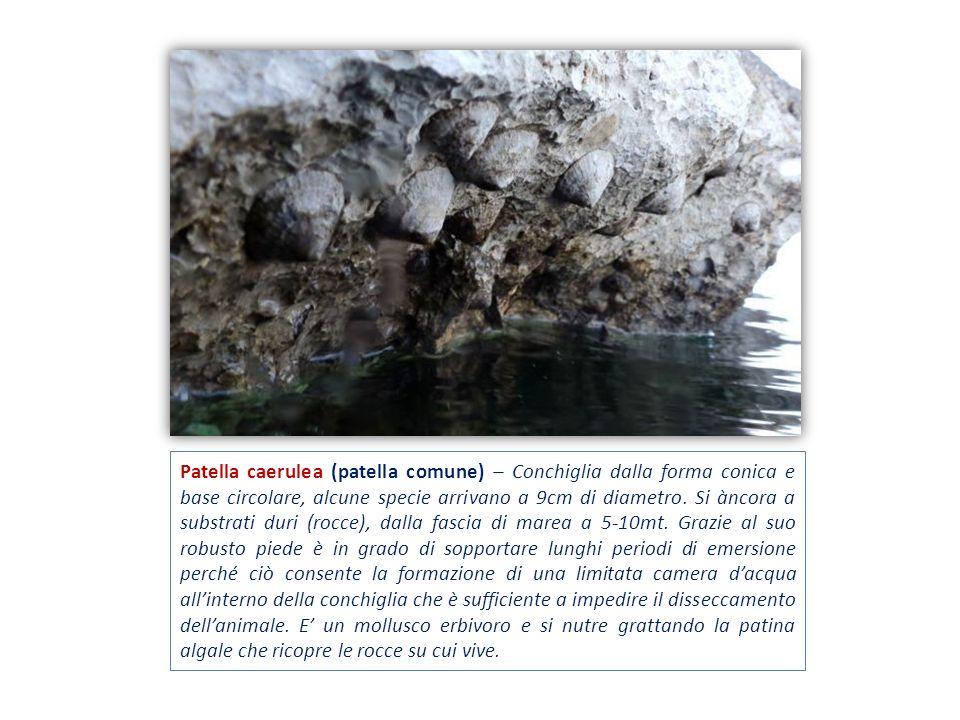Patella caerulea (patella comune) – Conchiglia dalla forma conica e base circolare, alcune specie arrivano a 9cm di diametro. Si àncora a substrati du