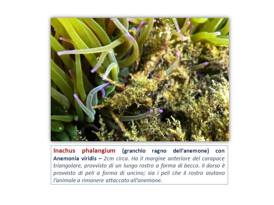 Inachus phalangium (granchio ragno dellanemone) con Anemonia viridis – 2cm circa. Ha il margine anteriore del carapace triangolare, provvisto di un lu