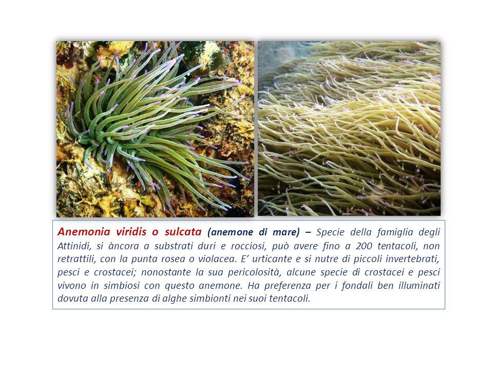 Anemonia viridis o sulcata (anemone di mare) – Specie della famiglia degli Attinidi, si àncora a substrati duri e rocciosi, può avere fino a 200 tenta