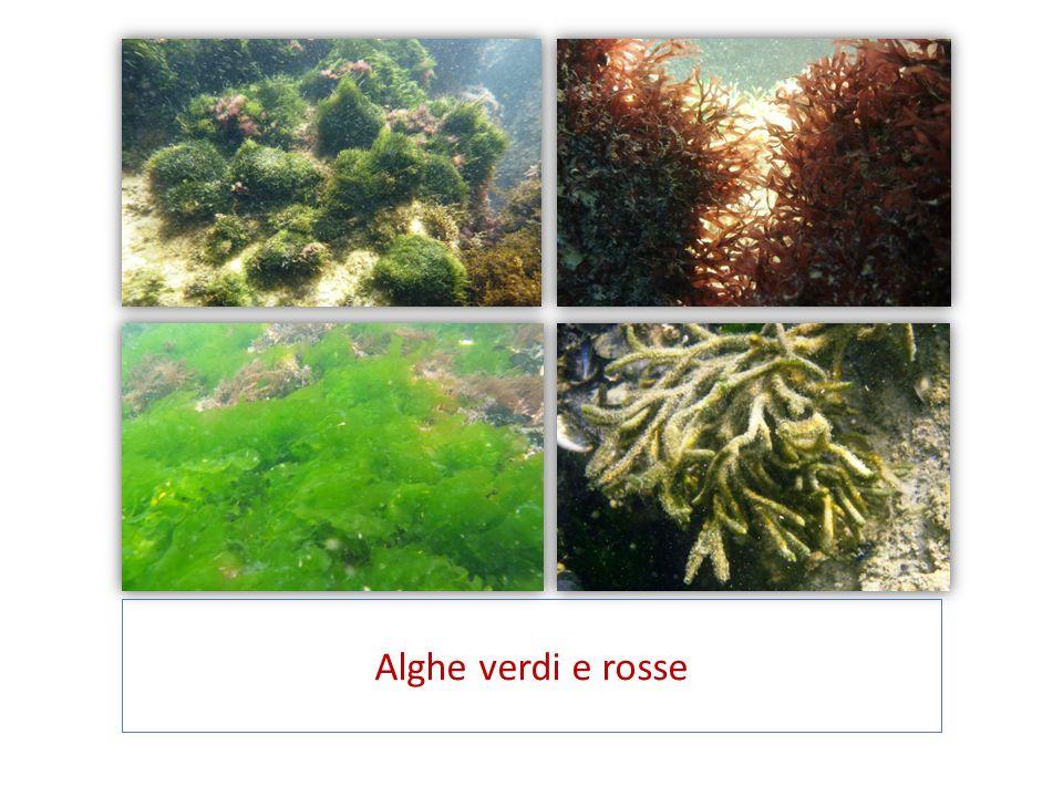 Alghe verdi e rosse