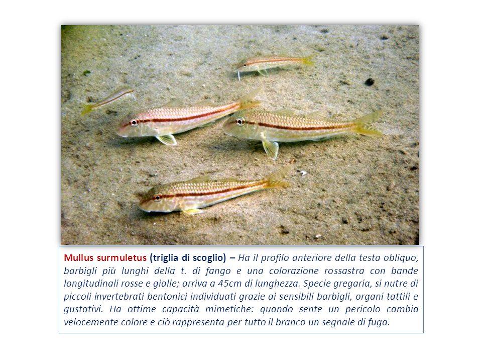 Mullus surmuletus (triglia di scoglio) – Ha il profilo anteriore della testa obliquo, barbigli più lunghi della t. di fango e una colorazione rossastr