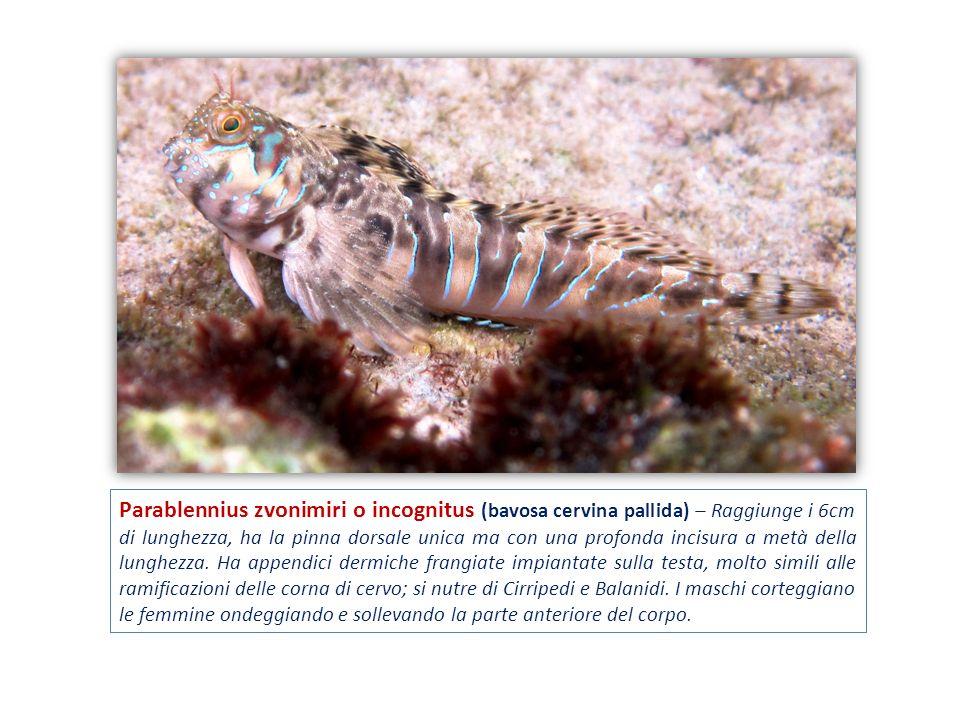 Parablennius zvonimiri o incognitus (bavosa cervina pallida) – Raggiunge i 6cm di lunghezza, ha la pinna dorsale unica ma con una profonda incisura a