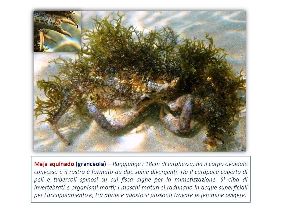 Maja squinado (granceola) – Raggiunge i 18cm di larghezza, ha il corpo ovoidale convesso e il rostro è formato da due spine divergenti. Ha il carapace