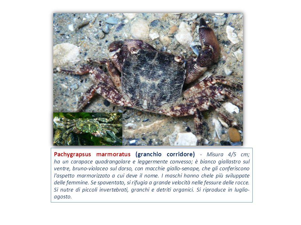 Pachygrapsus marmoratus (granchio corridore) - Misura 4/5 cm; ha un carapace quadrangolare e leggermente convesso; è bianco giallastro sul ventre, bru