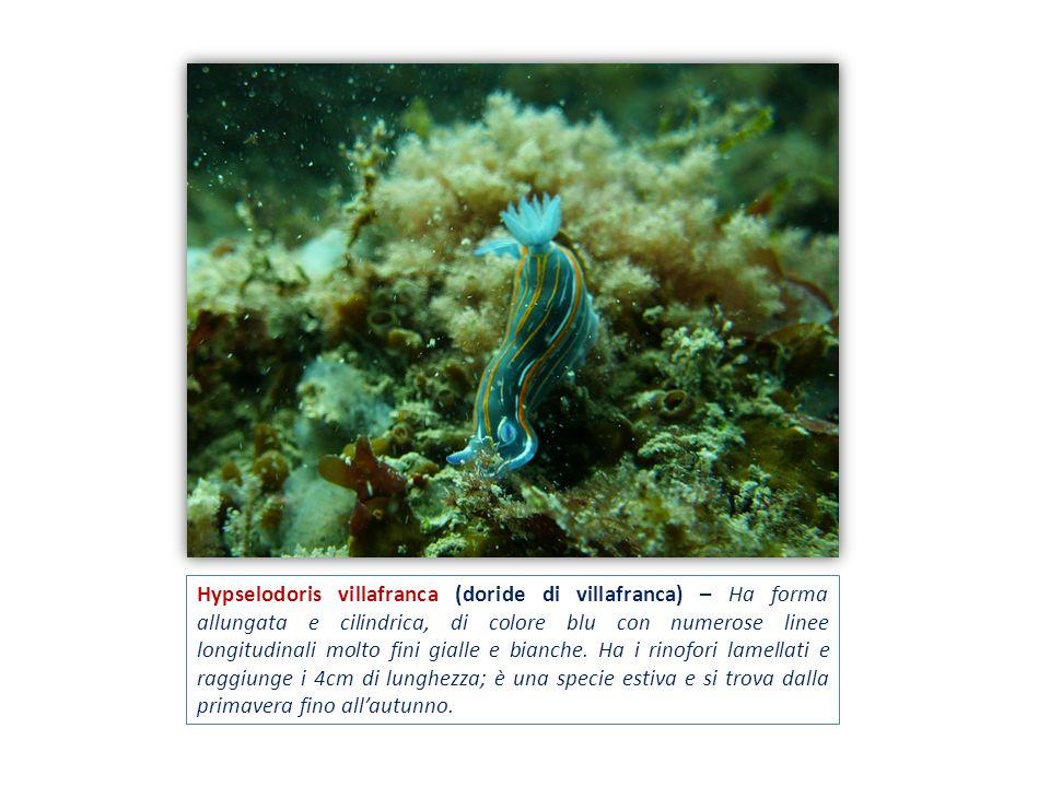 Hypselodoris villafranca (doride di villafranca) – Ha forma allungata e cilindrica, di colore blu con numerose linee longitudinali molto fini gialle e