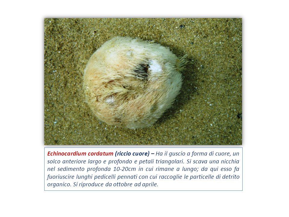 Echinocardium cordatum (riccio cuore) – Ha il guscio a forma di cuore, un solco anteriore largo e profondo e petali triangolari. Si scava una nicchia