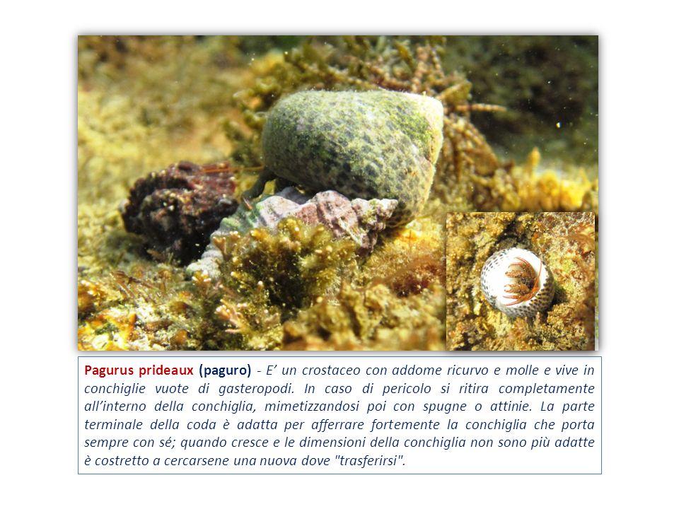 Pagurus prideaux (paguro) - E un crostaceo con addome ricurvo e molle e vive in conchiglie vuote di gasteropodi. In caso di pericolo si ritira complet