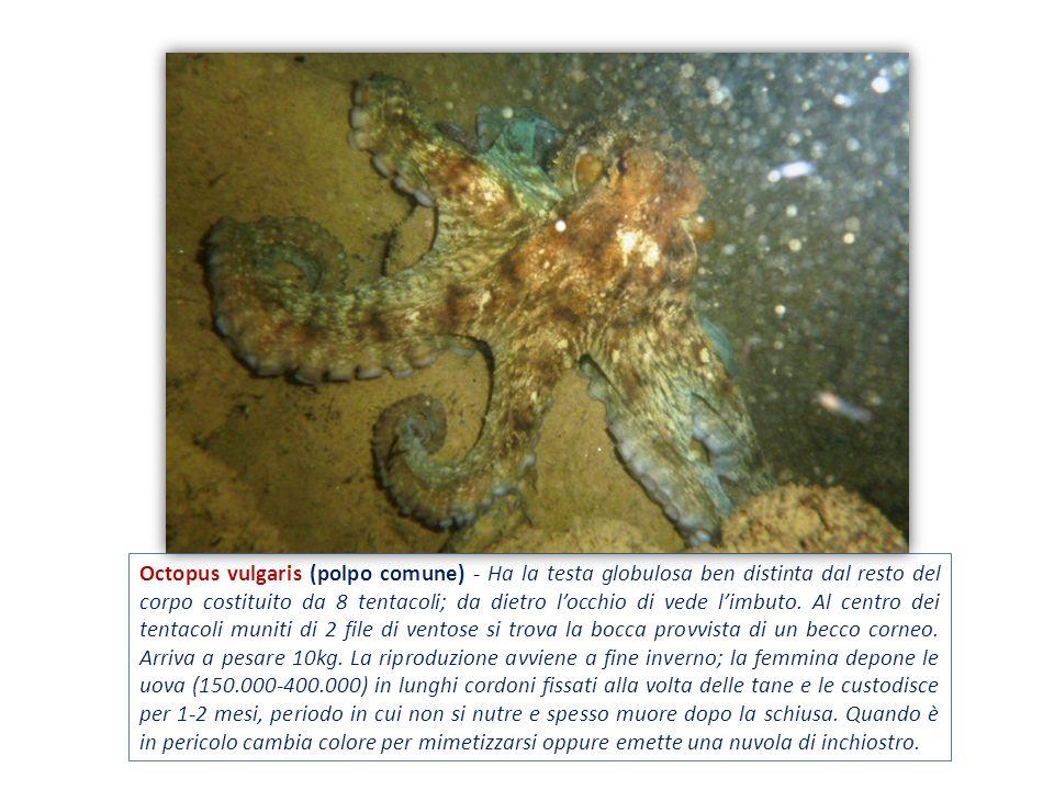 Octopus vulgaris (polpo comune) - Ha la testa globulosa ben distinta dal resto del corpo costituito da 8 tentacoli; da dietro locchio di vede limbuto.